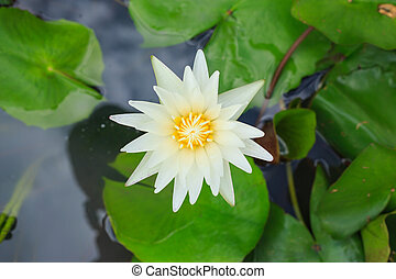 Yellow lotus flower on top view