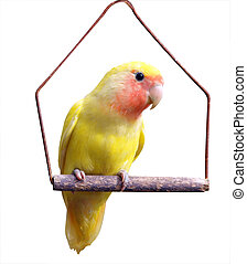 Yellow Lovebird on Swing isolated with clipping path