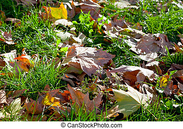 autumn leaves in green grass - yellow maple autumn leaves in...