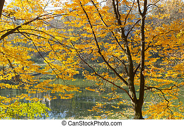 Yellow maple autumn trees