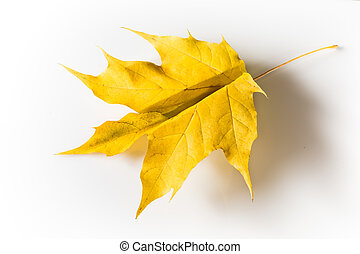 Yellow maple leaf, folded in the form of a paper airplane....