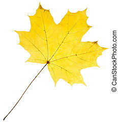 Yellow maple leaf isolated