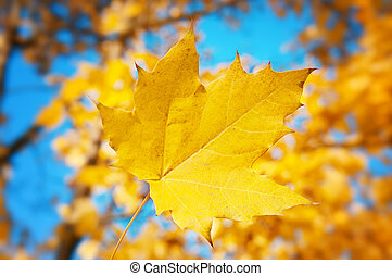 yellow maple leaf on a background of blue sky