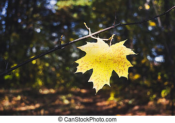 Yellow maple leaf on a background of trees in the Park.