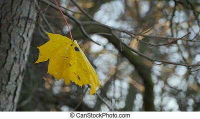 yellow maple leaf on a gray autumn forest background