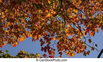 Yellow maple leaves against the blue sky. 4K.