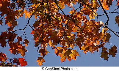 Yellow maple leaves against the blue sky.