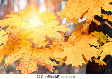 Yellow maple leaves close up, autumn background