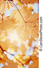 Yellow maple leaves fall.