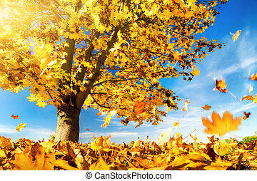Yellow maple leaves falling to the ground