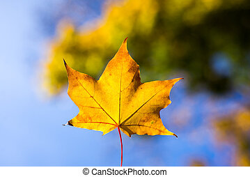 yellow maple leaves in autumn background