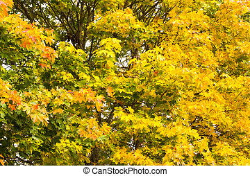 Yellow maple leaves in autumn on blue sky background.