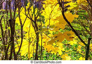 Yellow Maple Leaves in Autumn Season