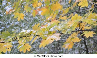 Yellow maple leaves in  snow