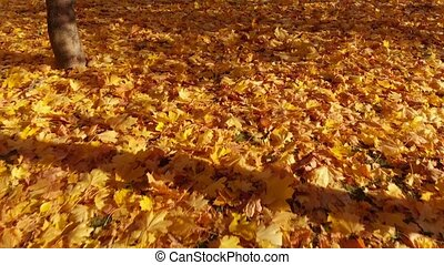 Yellow maple leaves lie on the Earth - Yellow maple leaves...