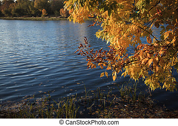 yellow maple leaves of the lake