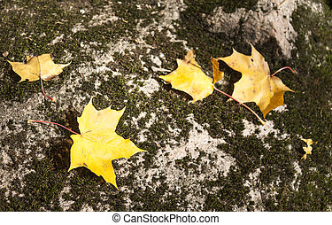 Yellow maple leaves on a stone