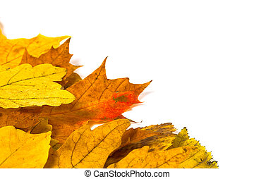 yellow maple leaves on a white background