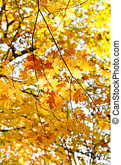 yellow maple leaves on branches in autumn