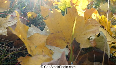 Yellow maple leaves on grass at sunlight - Yellow maple...