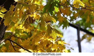Yellow maple leaves on sunny autumn day pan shot
