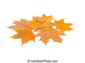 Yellow maple leaves on white background close-ups....