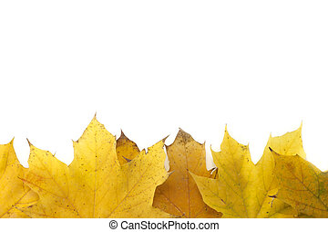 Yellow Maple leaves on white background
