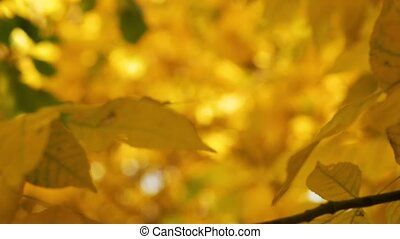 Yellow maple leaves sliding focus Close up of beautiful magic autumn trees, yellow leaves and incredibly warm calm sunny weather.