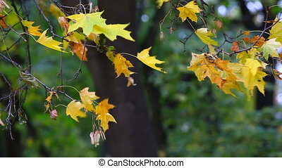 Yellow maple leaves trembling on the wind