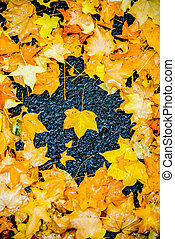 Yellow maple leaves2