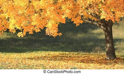 Yellow maple tree in sunny autumn day