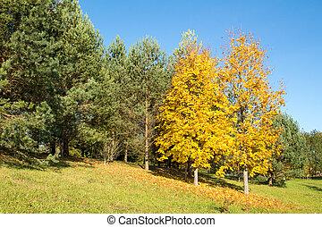 Yellow maple trees in autumn park