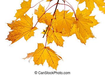Yellow autumn maple twig isolated on white background