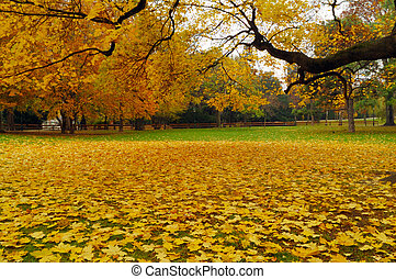 Bright yellow maple leaves covering lawn