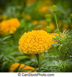 yellow marigold flower in garden