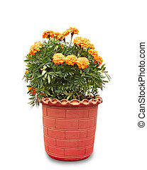 Marigold flower plant in red pot