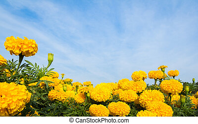 Yellow marigold flowers with sky