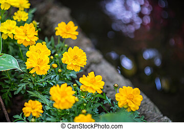 Yellow marigold in the field