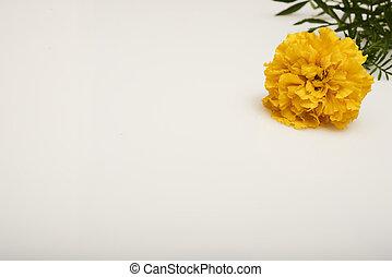 yellow marigold on a white background