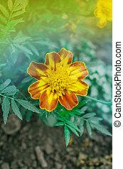 Yellow Marigolds flower
