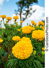 Yellow marigolds in the garden on sky background