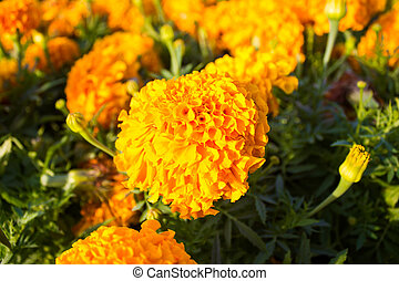 Yellow marigolds in the garden