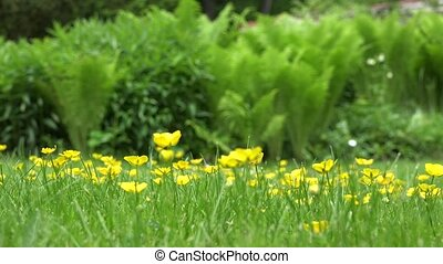 Yellow meadow flowers and fern plant leaves in garden. 4K