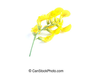 yellow meadow flowers on a white background