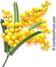 Yellow mimosa flower branch on white background
