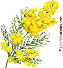Yellow mimosa flower branch symbol of spring