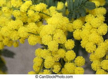 beautiful yellow mimosa flowers for International Women's Day