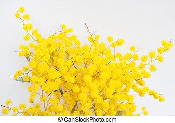 Yellow Mimosa flowers of Acacia dealbata plant aka silver wattle, blue wattle flower