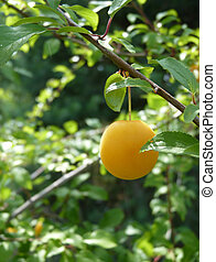 Yellow Mirabelle Plum Hanging on Wild Plum Tree - Close up...