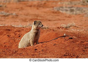 Yellow Mongoose (Cynictis penicillata) in the Kalahari...